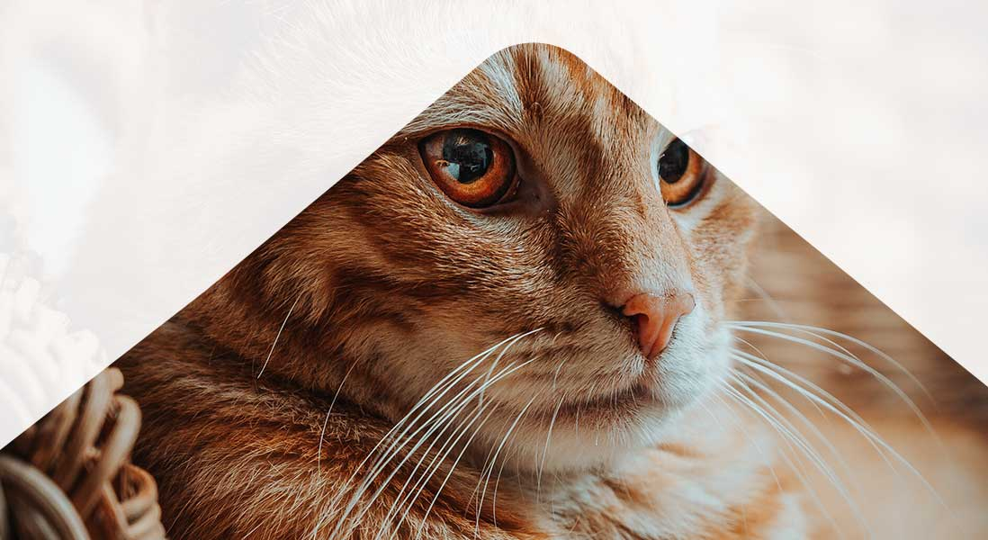 Image of ginger cat